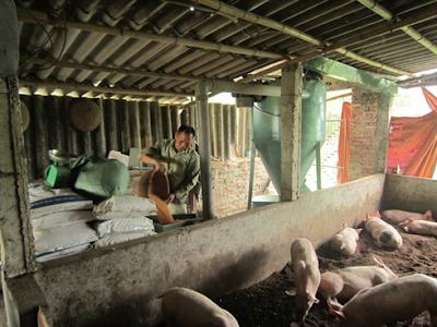 Hiện tại, sự tăng giá TĂCN chưa mấy ảnh hưởng tới chăn nuôi (Ảnh minh họa)