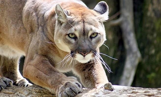 c3eb6ed35ad42 Les pumas sauvages observés par les différents témoins appartenaient à  d autres sous-espèces