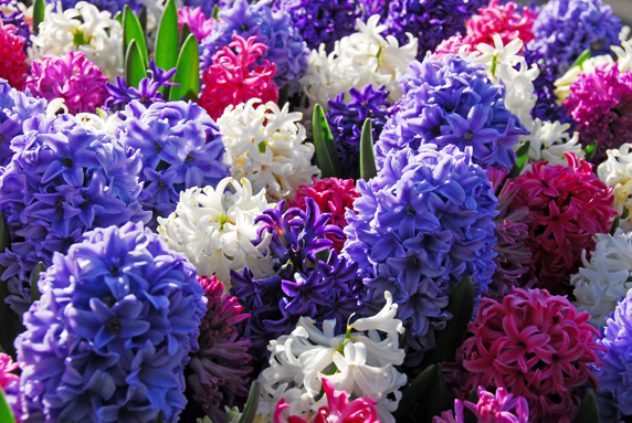 Piante e fiori giacinto hyacinthus for Piante e fiori