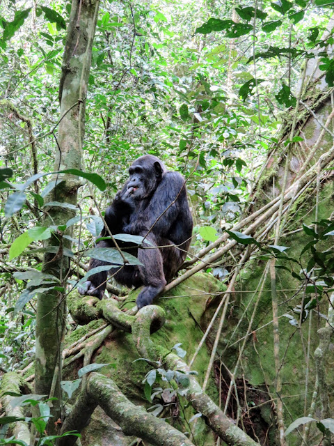 Chimpanzee in Uganda's Kibale National Forest