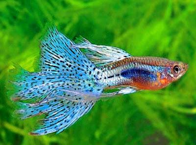 cara memelihara ikan hias di akuarium,budidaya ikan hias guppy,merawat ikan hias di akuarium kecil,merawat ikan hias di kolam,ikan hias air tawar,ikan hias arwana,budidaya ikan hias rainbow,