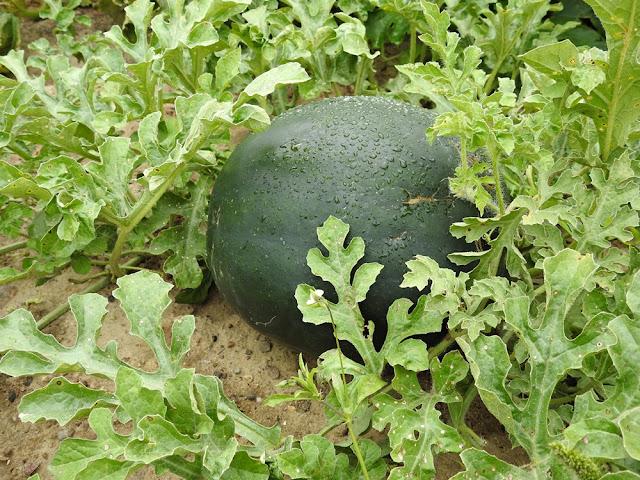 jak amatorsko uprawiać arbuzy w ogrodzie, hodowla arbuza