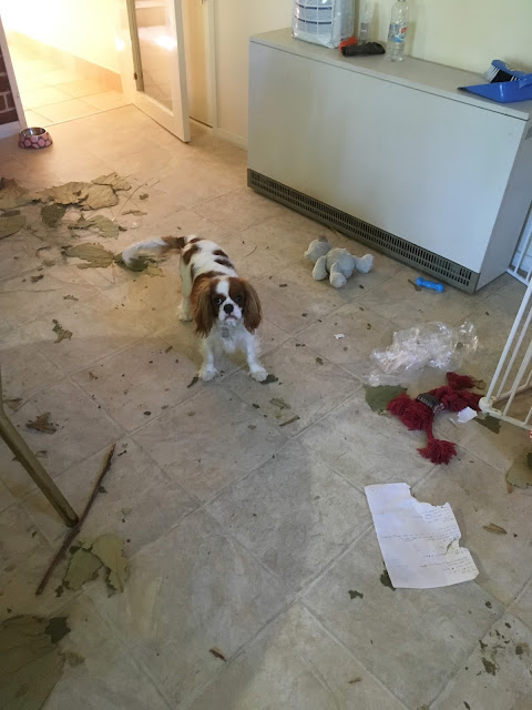 white and brown puppy stands among shredded leaves, paper and toys strewn on floor