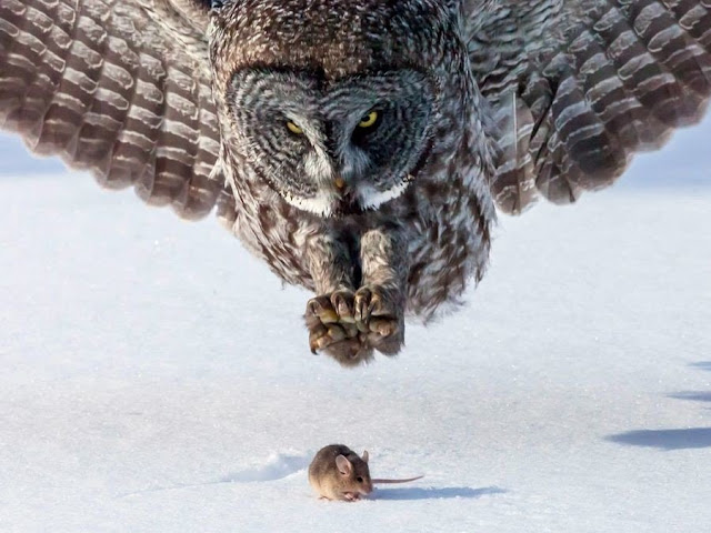 owl grabs mouse in the snow