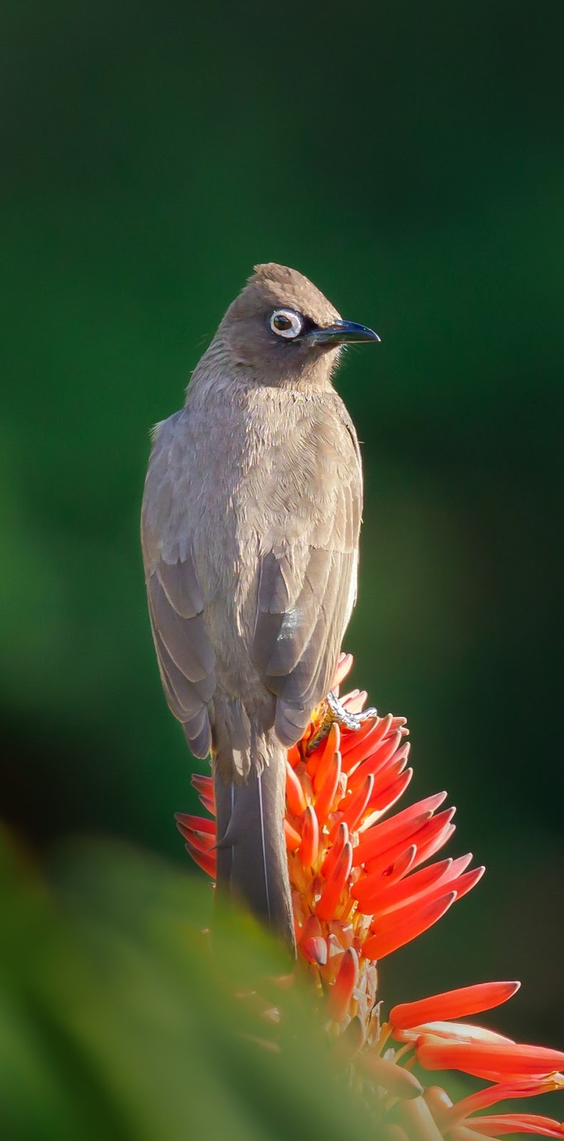 Picture of a cape bulbul.