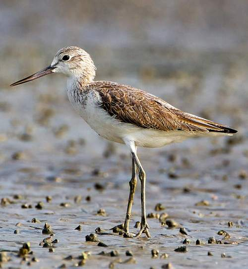 Indian birds -Image of Common greenshank - Tringa nebularia