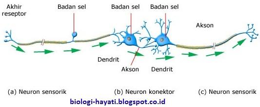 Klasifikasi Neuron berdasarkan fungsinya