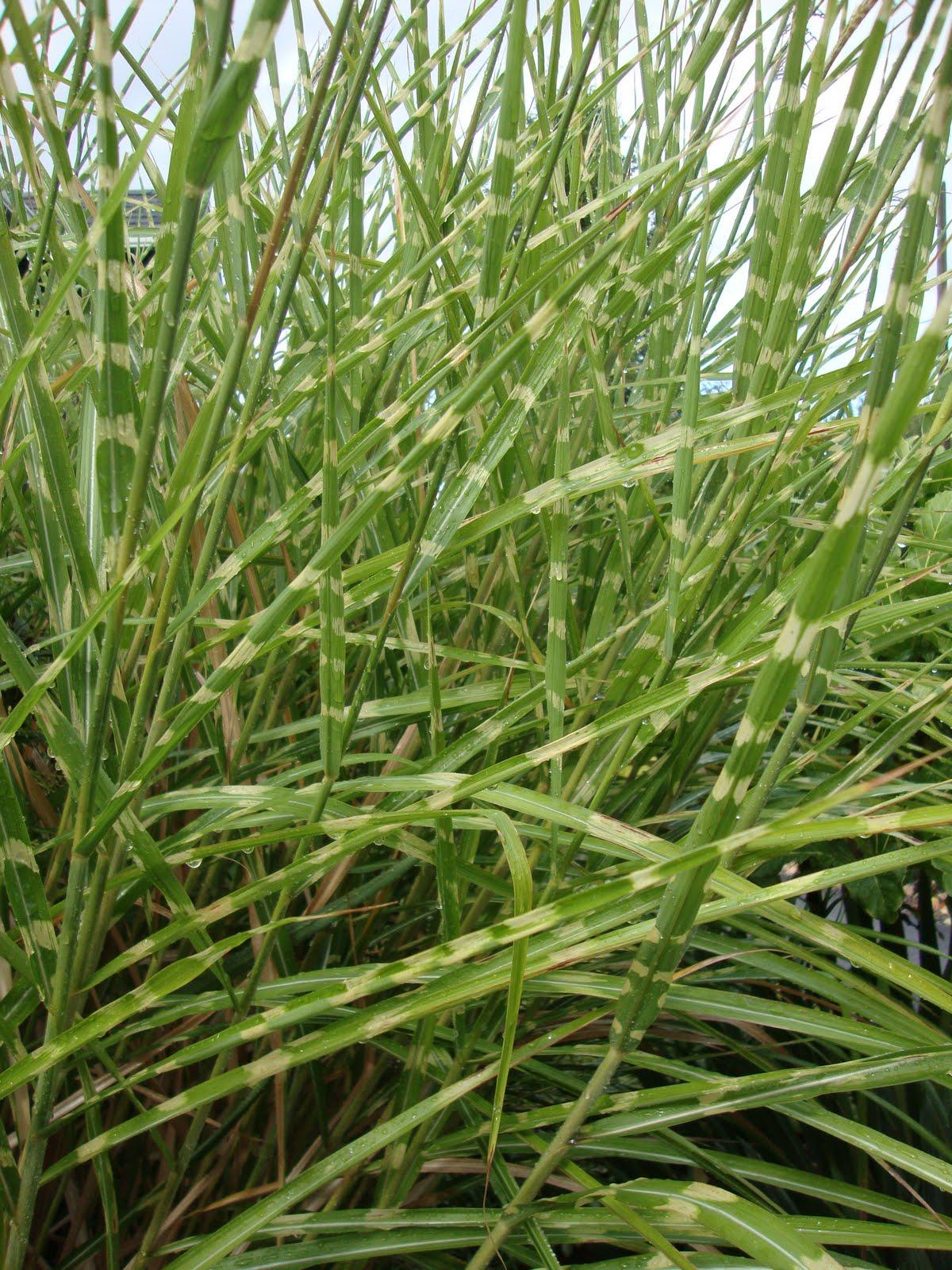 danger garden: Gardening with grasses (not lawn)