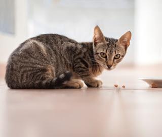 Makanan Serta Minuman Yang Terbaik Untuk Kucing Kampung