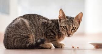 83 Gambar Kucing Kampung Gambar Pixabay