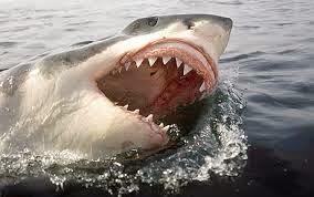 Ikan Hiu Putih