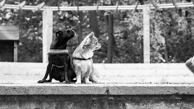 Tierfotografie Tier-Portrait Chihuahua- Hundedamen S/W