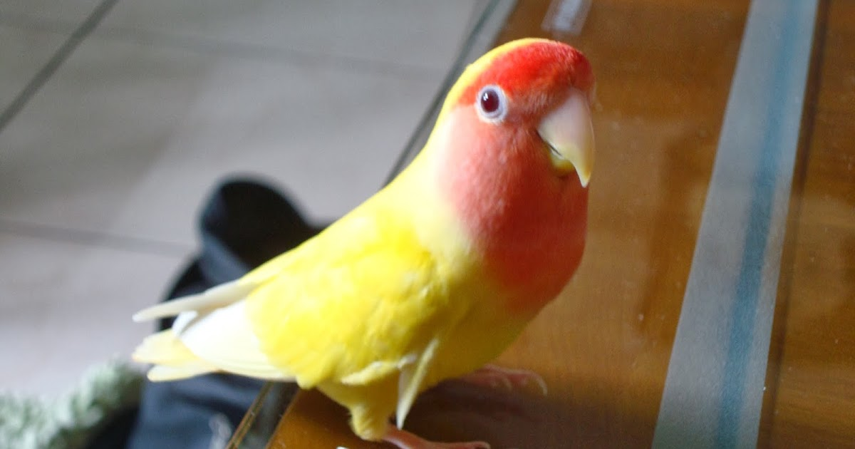 襪子: 家裡的兩隻小鸚鵡