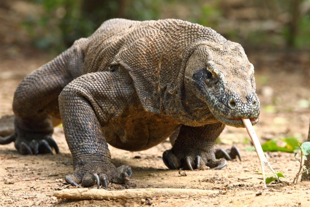 Komodo Dragon Asian Animals