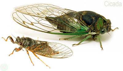 Cicada, Cicada insect,ঘুগরা পোকা