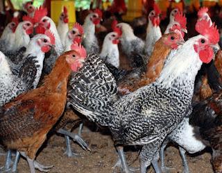 Ternak-Ayam-Pejantan