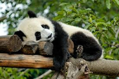 Panda Ailuropoda melanoleuca - berbagaireviews.com