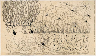 Cells of the cerebellum, a drawing by Santiago Ramon y Cajal.