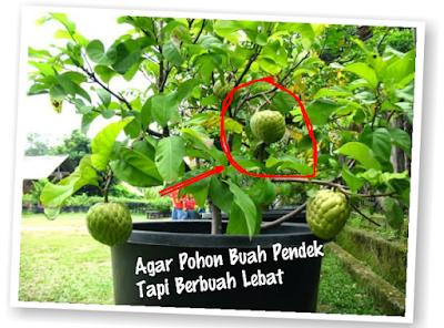 Tips Sederhana agar Pohon buah pendek lebat buahnya