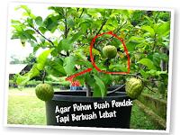 Ini dia Tips Sederhana agar Pohon buah pendek lebat buahnya! PERLU TAU buat kamu yang Suka Menanam
