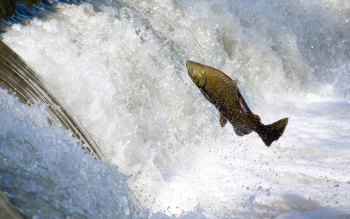 Wallpaper: Salmon jumping over waterfall