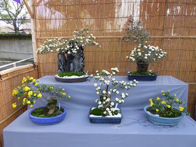 市民の森(鏡伝池緑地)ひらかた菊花展 小菊盆栽