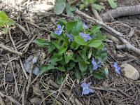 Alpine Violet at Silver Lake Flat American Fork Canyon