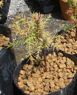 杉のミニ盆栽③