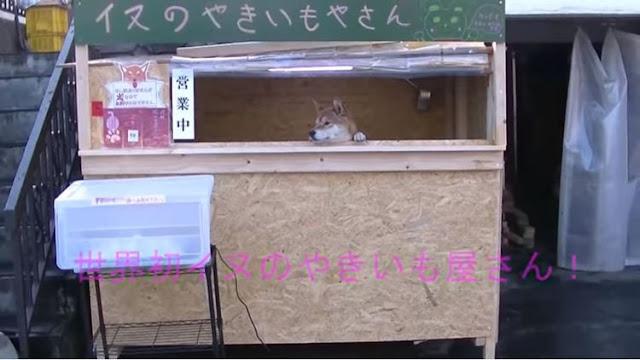Bukan Manusia, Toko Kentang Manis di Jepang Ini Dilayani oleh Seekor Anjing