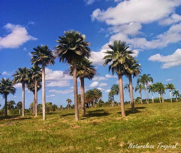 Palmeras en el campo, familia Arecaceae