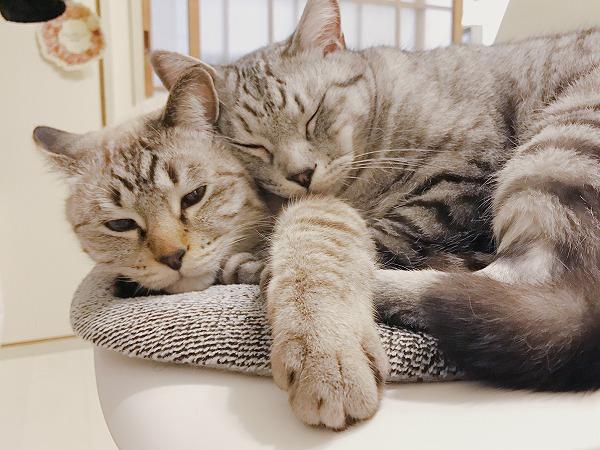 なかよく寄り添っているサバトラ猫とシャムトラ猫