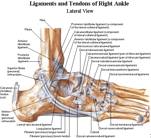Human Anatomy Ligaments And Tendons Of The Foot