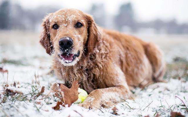 Foto van een spelende hond met bal in de sneeuw