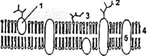 Struktur membran sel: protein perifer, integral, glikolipid, glikoprotein, fosfolipid, soal Biologi UN 2017