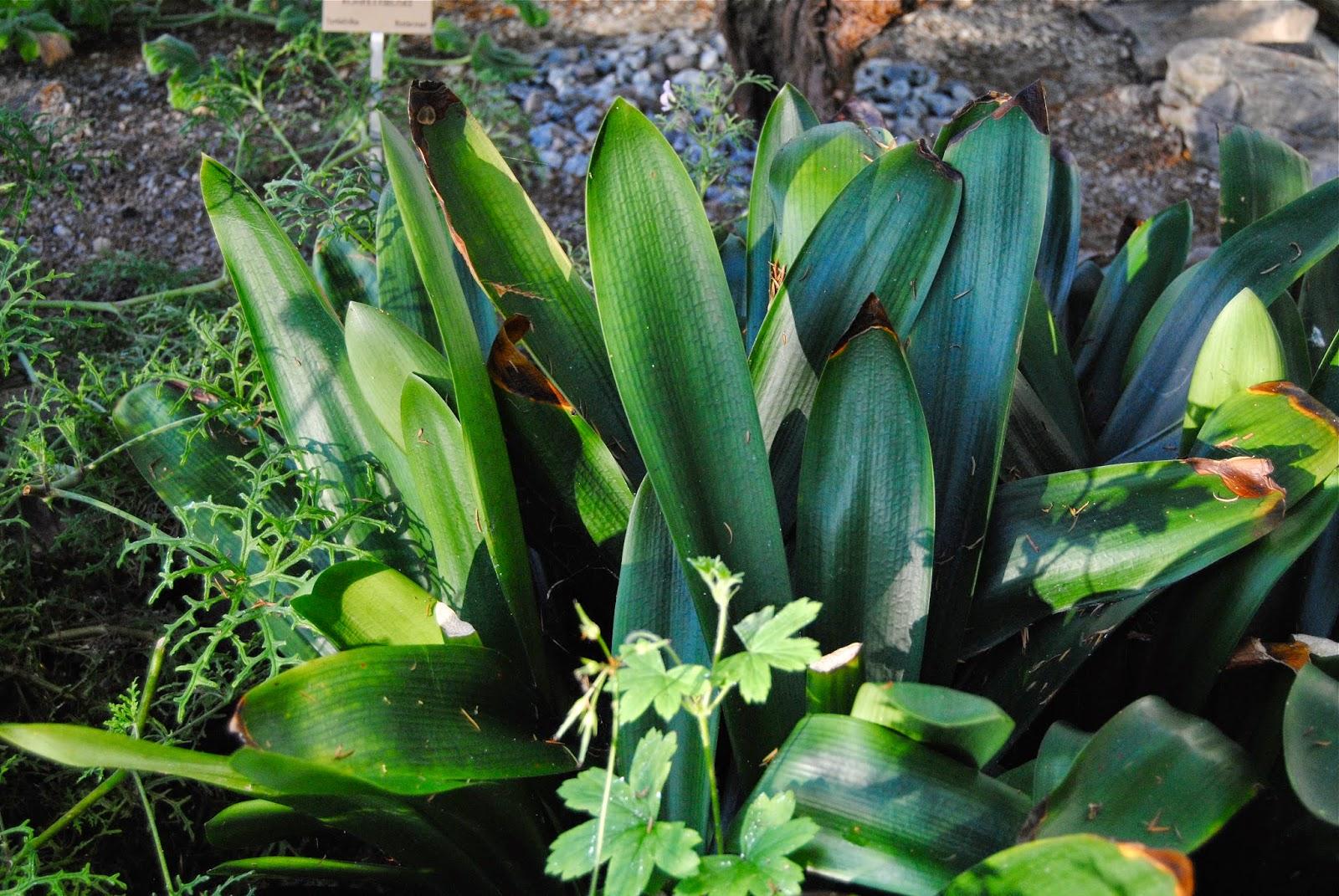 Clivia på Bergianska Trädgården