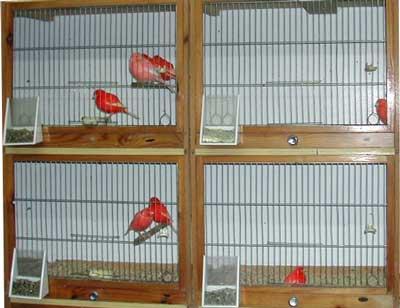 2 Tipe Kandang Ternak Kenari | Kicau Burung Mania