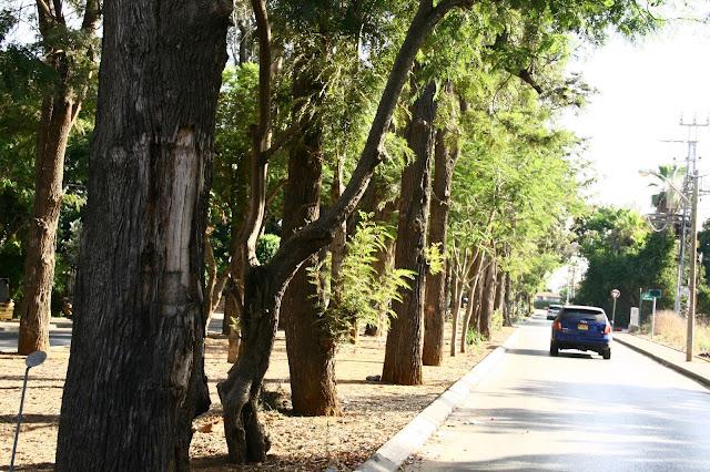 שדרת עצי הגרוילאה בקדימה, צילום אורנה לבנה. רחוב חנקין קדימה