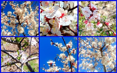 white blossoms photo collage