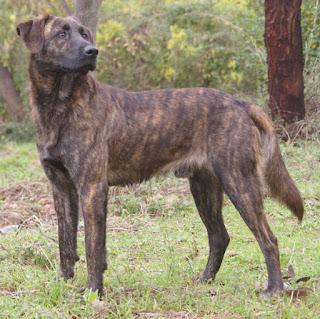 Cursinu-pets-dog-dogs-pet-dog breeds