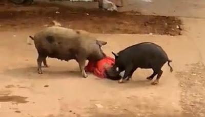 Dua Babi Besar Ngamuk Serang Wanita Paruh Baya di Tengah Jalan