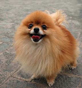 Pomeranian Dogs Health