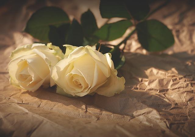 hoa hồng trắng đẹp nhất thế giới 1