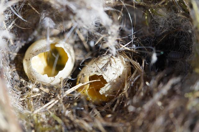 Penyebab Telur Burung Perkutut Tidak Menetas dan Solusinya