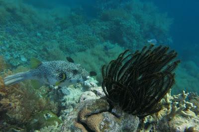 snorkeling at Menjangan ISland