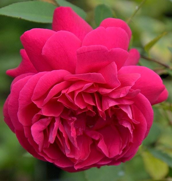 Thomas a Becket сорт розы фото саженцы купить Минск