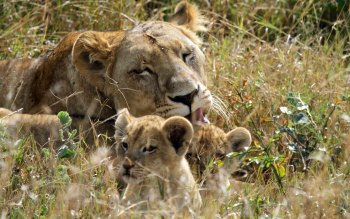 Wallpaper: Lioness with cubs