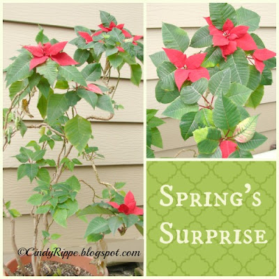 over-wintering plants, blooming poinsettia, unexpected pleasures, Florals-Family-Faith, Cindy Rippe