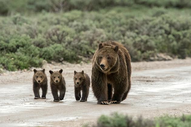 Con Gấu là số mấy & mơ thấy Gấu đánh đề số bao nhiêu?