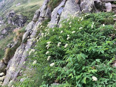 [Rosaceae] Sanguisorba dodecandra – Italian Burnet (Salvastrella con dodici stami)