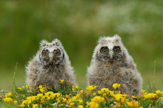 More Long-eared Owl Chicks